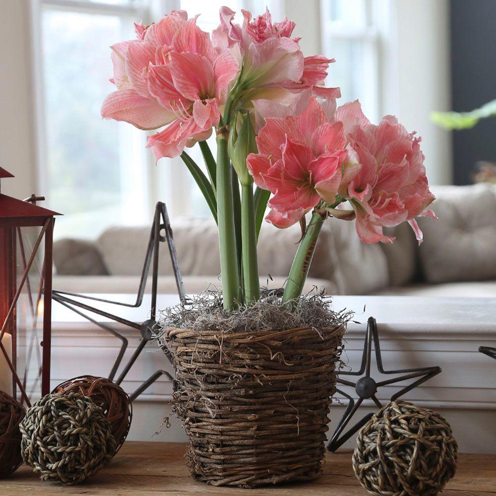 Van zyverden butter cups ranunculus double pink bulbs set for Amaryllis sweet pink