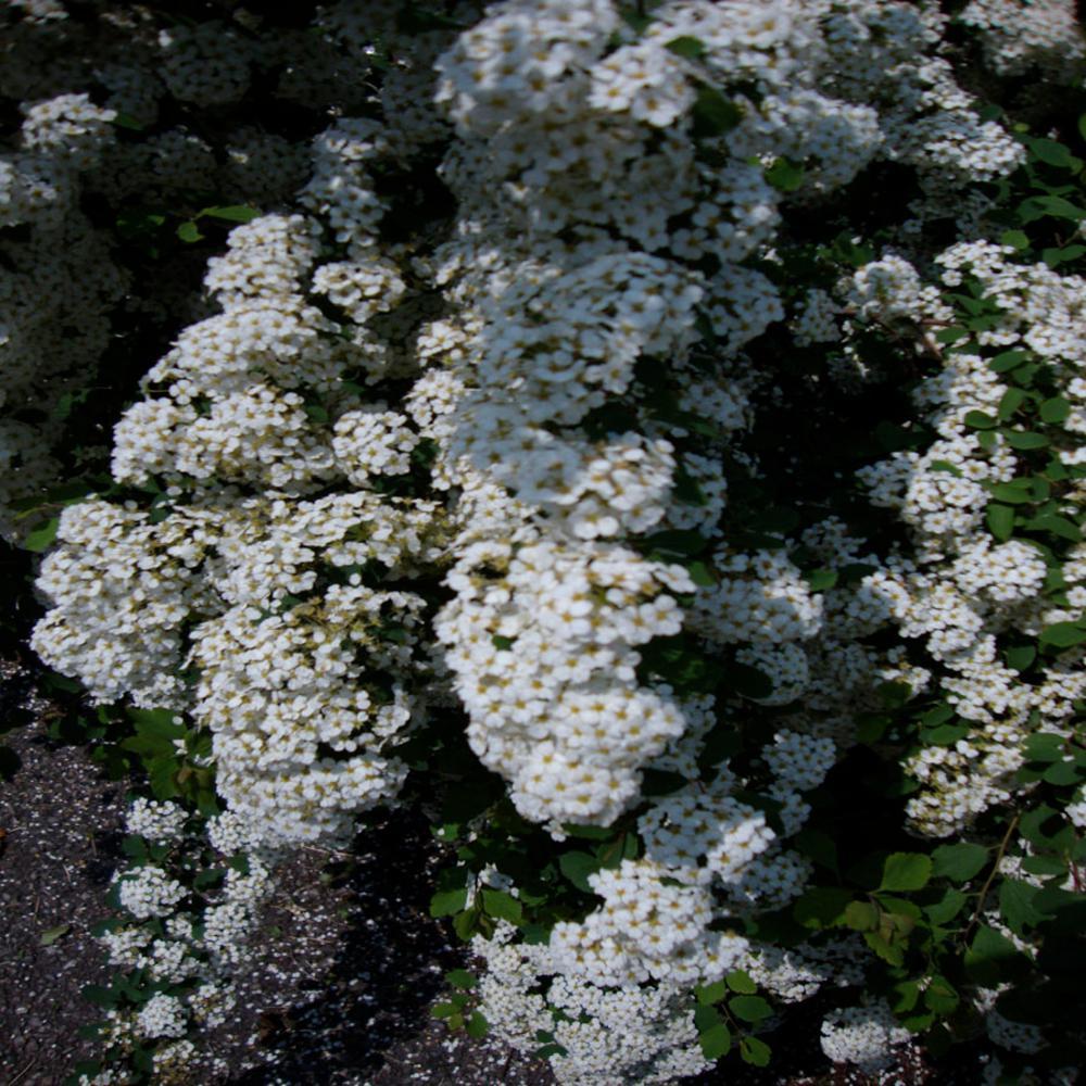 3 Gal. Bridal Wreath Spirea Flowering Shrub with White Flowers