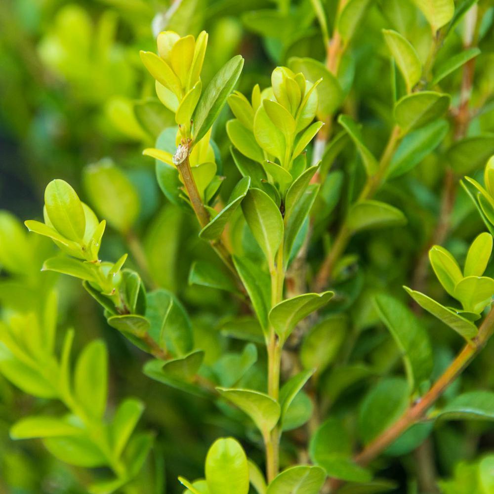 2.5 qt. Winter Gem Boxwood (Buxus), Live Broadleaf Evergreen Plant, Green Foliage (1-Pack)