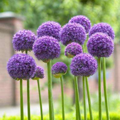 Allium Gladiator Bulbs (3-Pack)