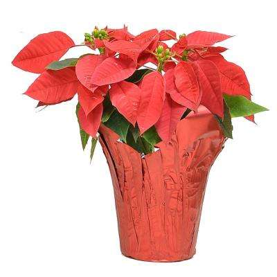 1 pt. Fresh Red Poinsettia with Red Pot Cover (Live)