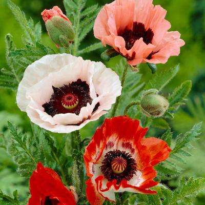 7 0 to 10 f poppies assorted colors garden plants flowers poppies mixed roots pack of 5 mightylinksfo