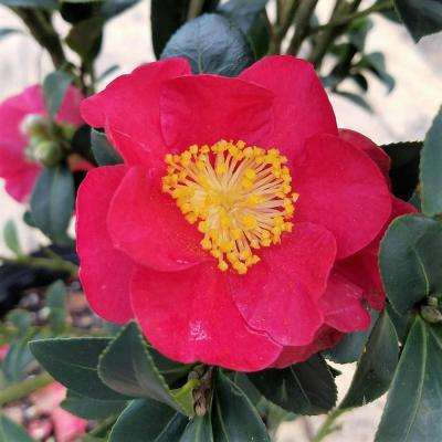 9.25 in. Pot - Yuletide Camellia(Sasanqua) - Red Blooming Evergreen Shrub, Live Plant