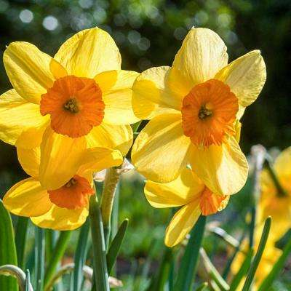 Kendron Jonquilla Daffodil Narcissus Bulbs (10-Pack)