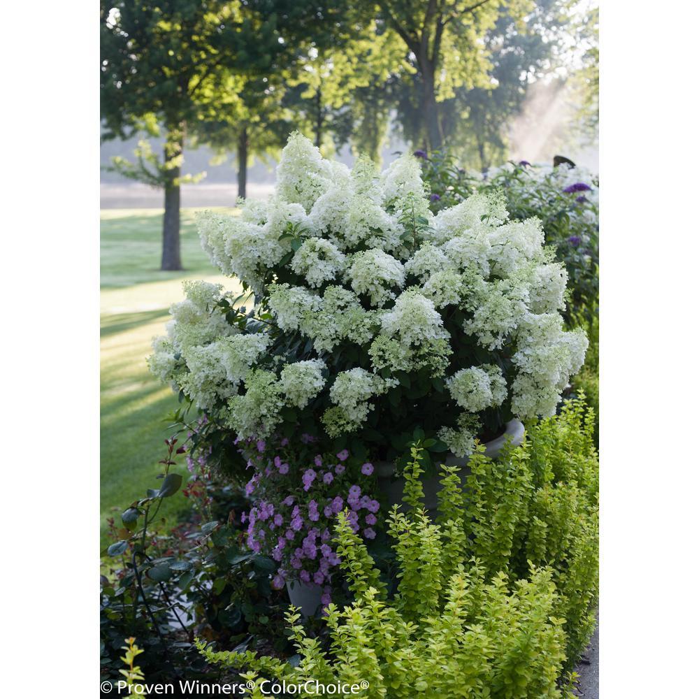 1 Gal. Bobo Hardy Hydrangea (Paniculata) Live Shrub, White to Pink Flowers