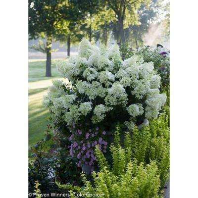 4.5 in. qt. Bobo Hardy Hydrangea (Paniculata) Live Shrub, White to Pink Flowers