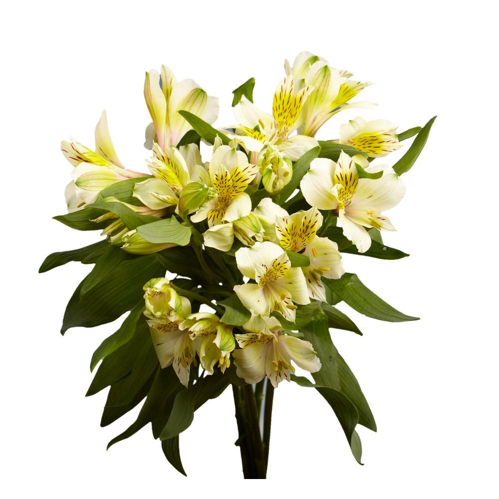 Fresh Cream Alstroemeria Flowers (80 Stems - 320 Blooms)