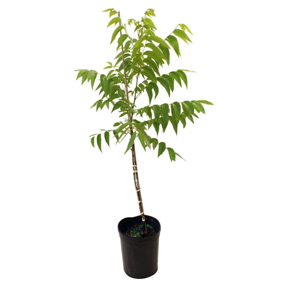 Caddo Pecan Tree