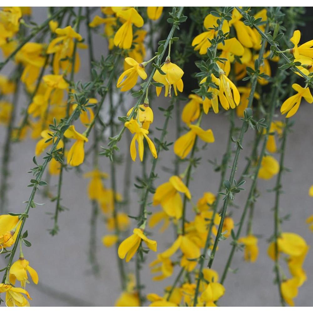 ProvenWinners Proven Winners Sister Golden Hair Scotch Broom (Cytisus) Live Shrub, Gold Flowers, 1 Gal.