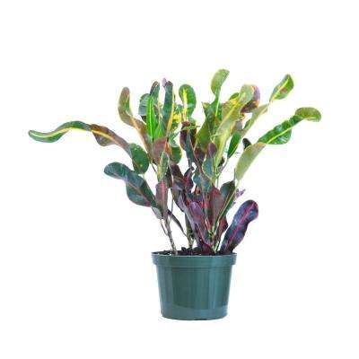 Croton Mammy Live Indoor Codiaeum Variegatum Plant Shipped in 6 in. Grower Pot 16 in. - 22 in. Tall