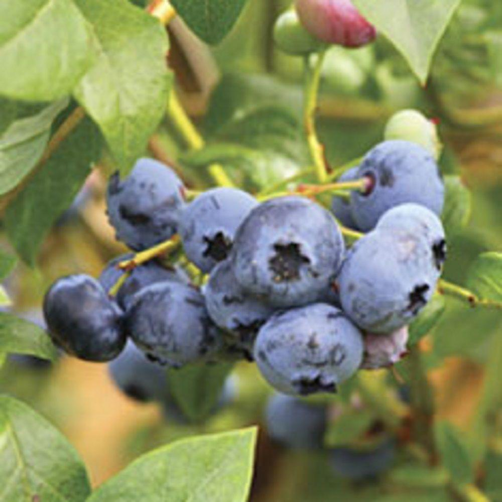 2.5 Qt. Woodard Blueberry Shrub(Rabbiteye) Bush - Fruit-bearing Shrub
