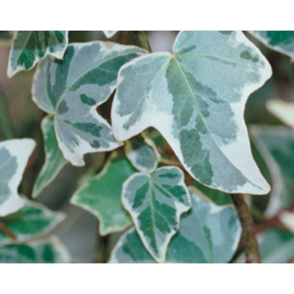 4.5 in. Quart Glacier Ivy Hedera Live Plant, Variegated Green and