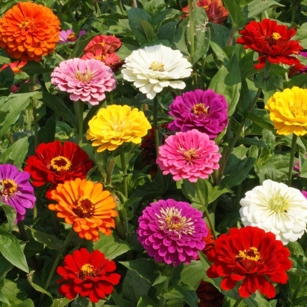California Giants Zinnia Flowering Seed Mixture (75-Seed Packet)
