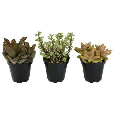 3.5 in. Golden Hue Succulent Collection (3-Pack)