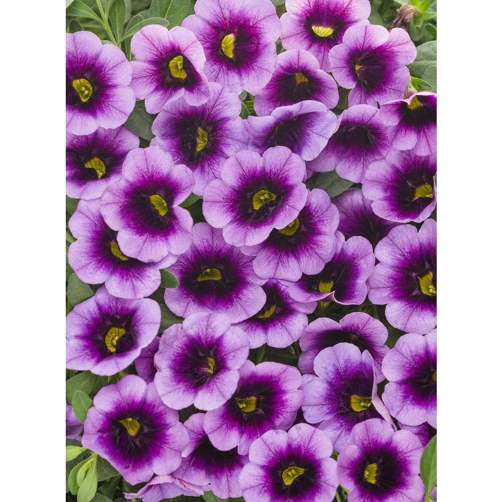 Proven Winners Superbells Blue Moon Punch Calibrachoa Live Plant