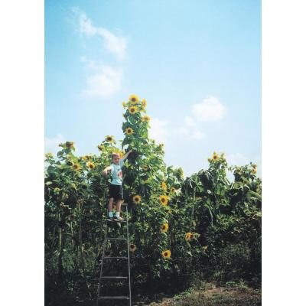 Sunflower Skyscraper, Bright Yellow Flowers (50 Seed Packet)