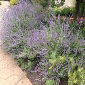 Onlineplantcenter 1 Gal Russian Sage Plant R003cl The