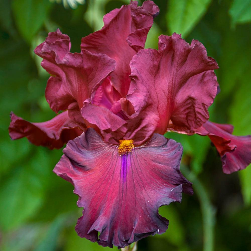 Grateful Red Bearded Iris, Live Bareroot Plant, Red Flowering Perennial (5-Pack)
