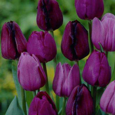 Purple tulip flower bulbs garden plants flowers the home depot purple tulips non stop purple blend bulbs 25 pack mightylinksfo