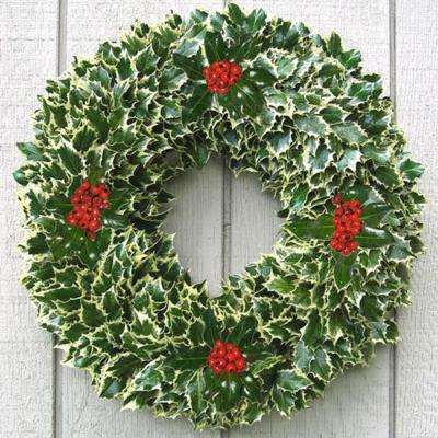 24 in. Fresh Holly Christmas Wreath Assembled with Live Variegated Holly Cuttings and Berries