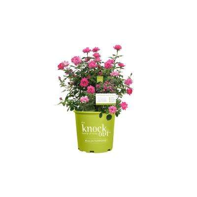 2 Gal. Knockout Double Rose Plant with Pink Flowers