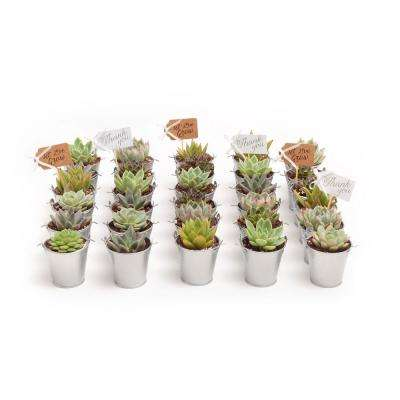 2 in. Wedding Event Rosette Succulents Plant with Silver Metal Pails and Thank You Tags (30-Pack)