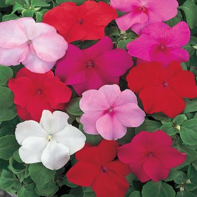 10.75 in. Assorted Colors Impatiens Hanging Basket