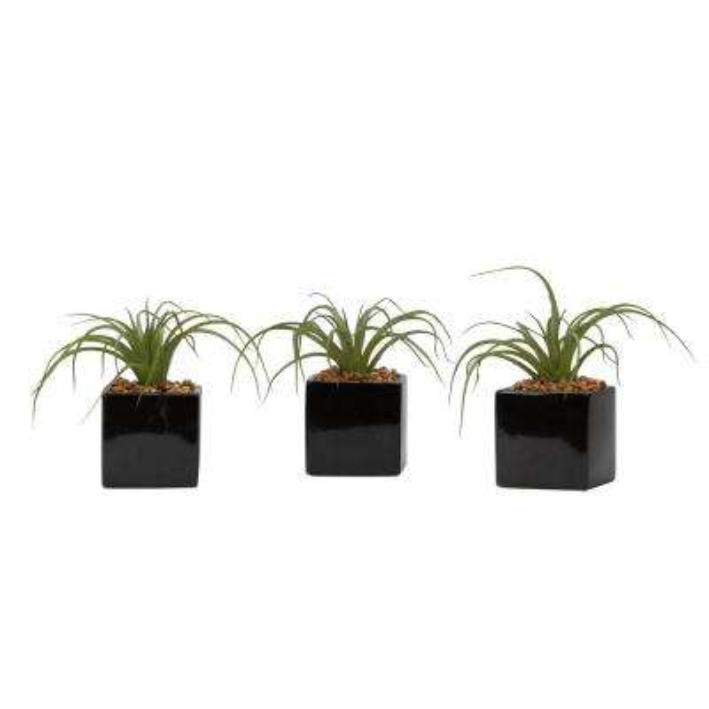 Indoor Curly Tilandsia in Black Ceramic Cube (Set of 3)