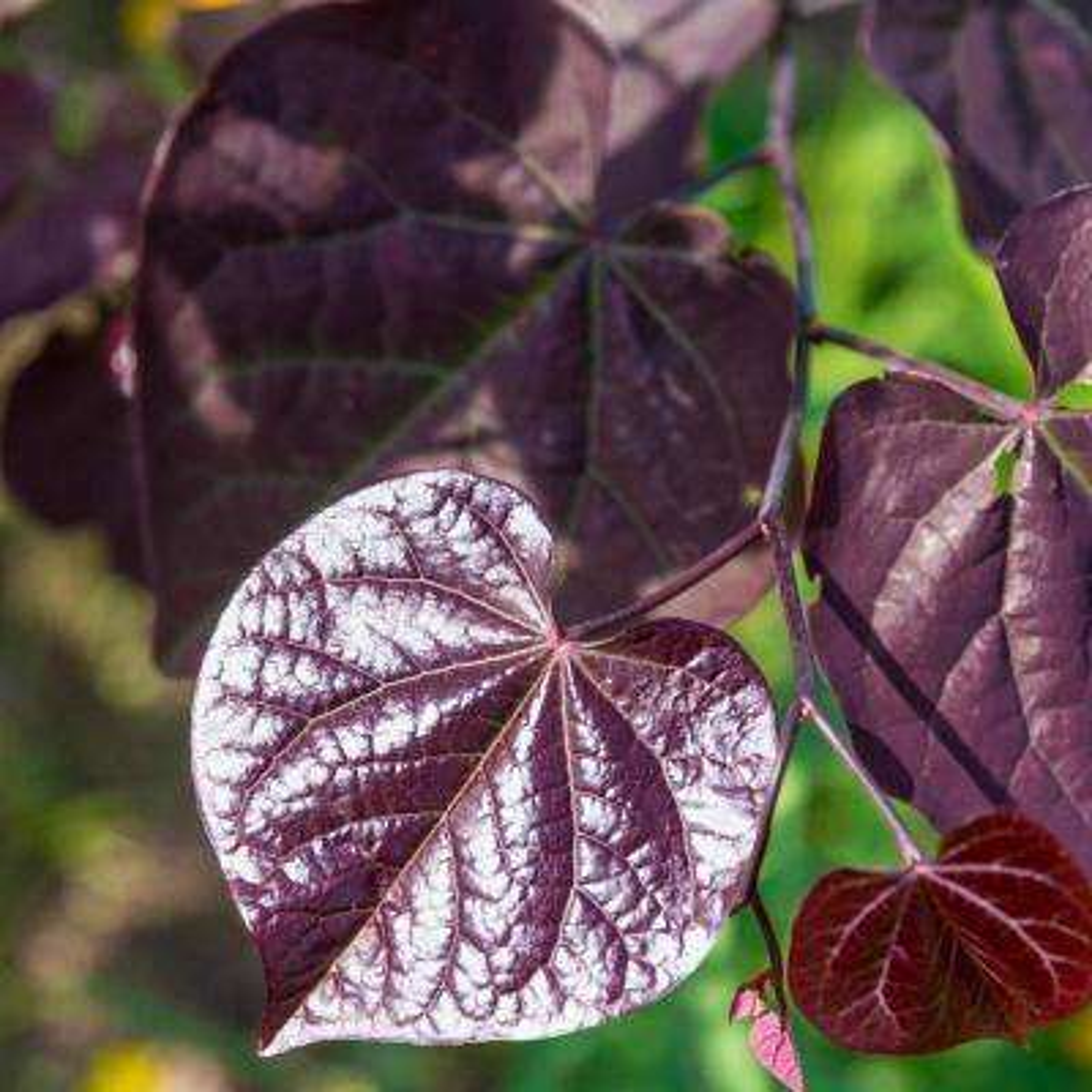 Black Pearl Redbud (Cercis) Live Bareroot Ornamental Tree Lavender Blooms (1-Pack)