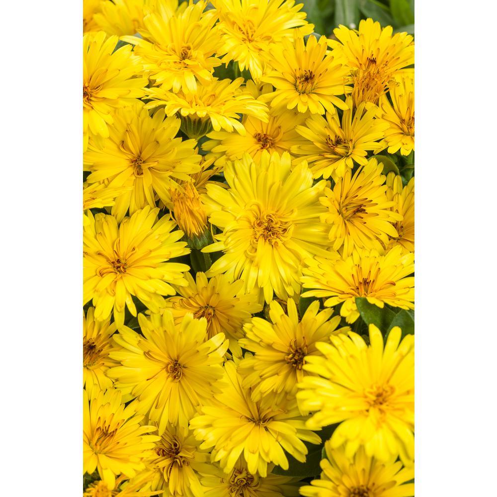 4-Pack, 4.25 in. Grande Lady Godiva Yellow English Marigold (Calendula) Live Plant, Yellow Flowers