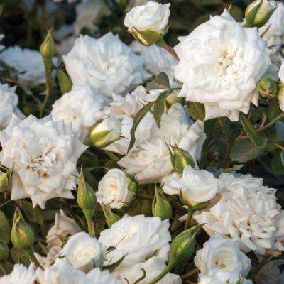 1 Gal. White Rose - Live Re-Blooming Groundcover Shrub