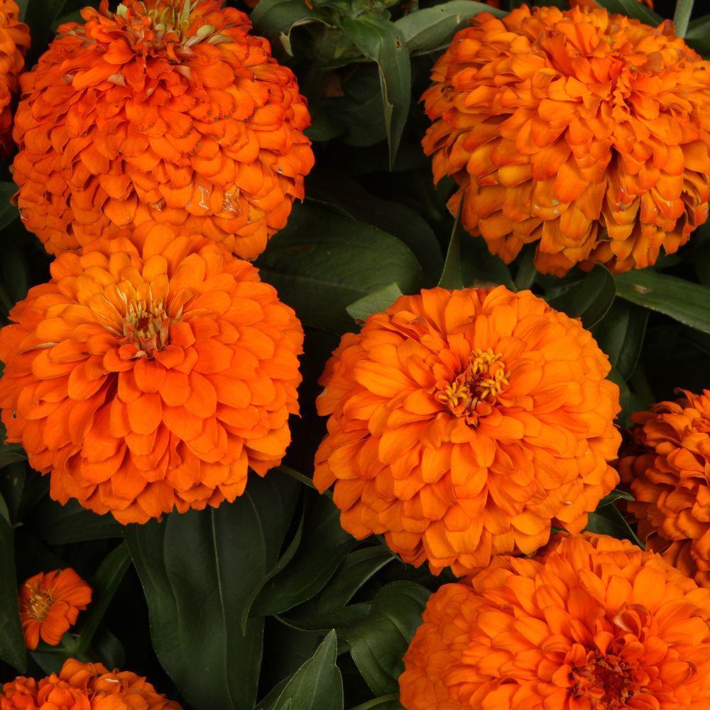 Sweet Tooth Orange Slice (Zinnia) Live Plant, Orange Flowers, 4.25 in. Grande, 4-Pack
