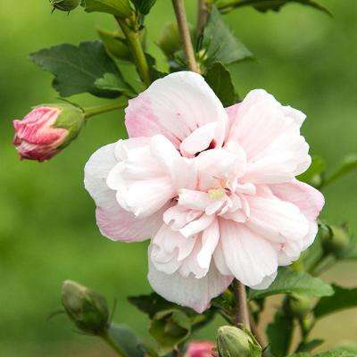 Strawberry Smoothie Rose of Sharon (Althea), Live Bareroot Plant, Light Pink Flowering Shrub (1-Pack)