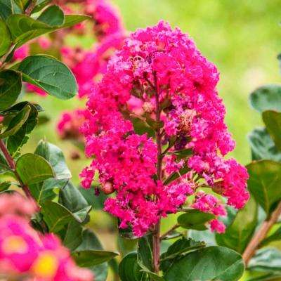 Northern Belle Hardy Watermelon Crape Myrtle (Lagerstroemia) Live Bareroot Plant Pink Flowers (1-Pack)