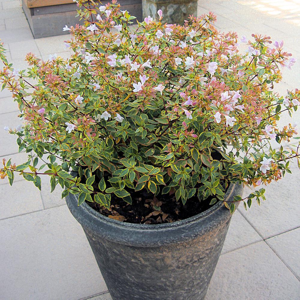 2.5 qt. Abelia Francis Mason Flowering Shrub with White Blooms