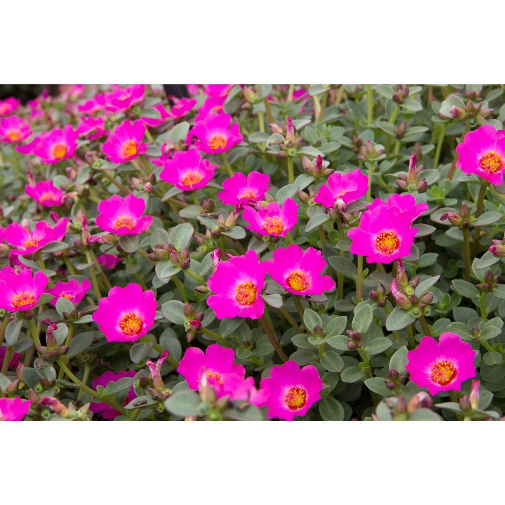 Costa Farms 1 Qt Pink Purslane Flowers In Grower Pot 4 Pack