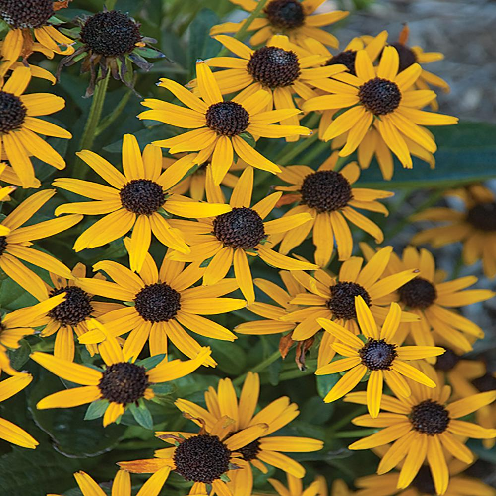 1 Year Old Perennial Tricuspidata Two Potted Black-Eyed Susan Plants 2