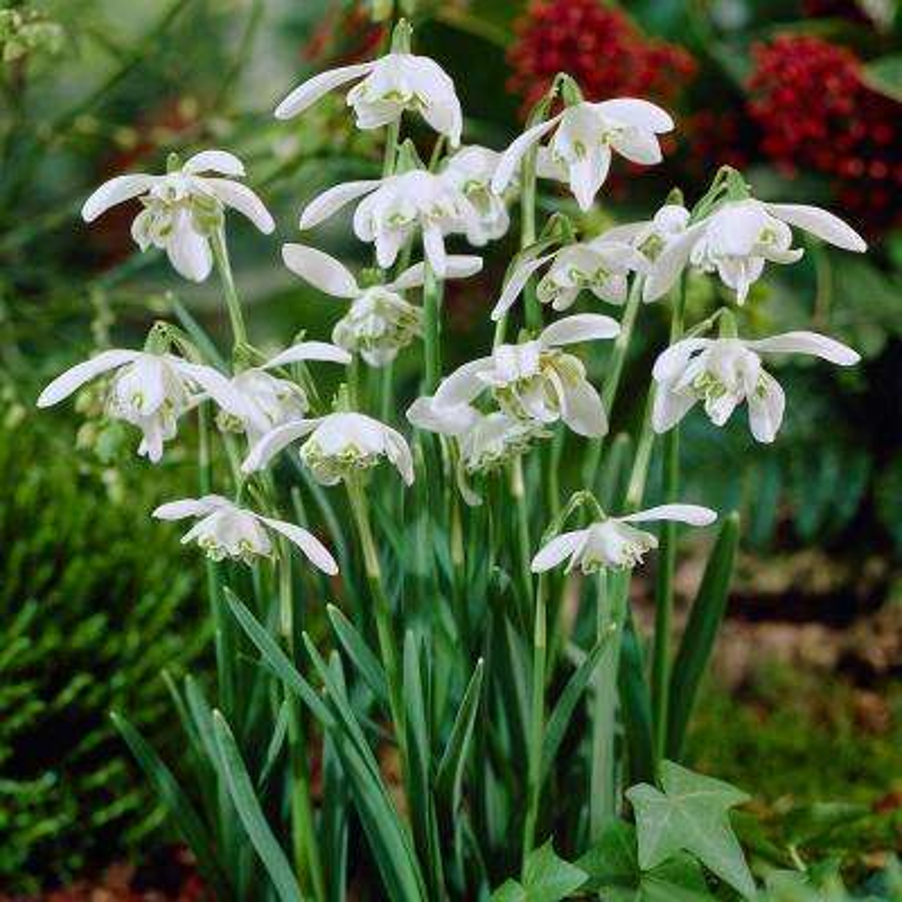 6 Perennial Winter Flower Bulbs Garden Plants Flowers