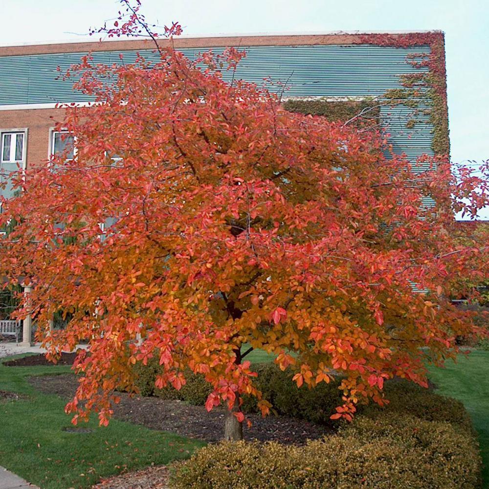 Spring Hill Nurseries Tupelo Nyssa Live Bareroot Shade Tree 1