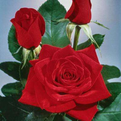 2 in. Pot, Olympiad Hybrid Tea Rose, Live Potted Plant, Red Color Flowers (1-Pack)