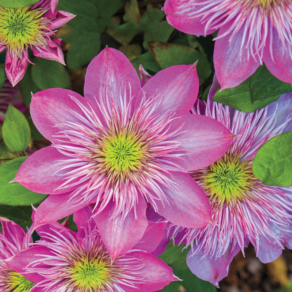 Spring Hill Nurseries Blushing Bridesmaid Clematis Live Bareroot