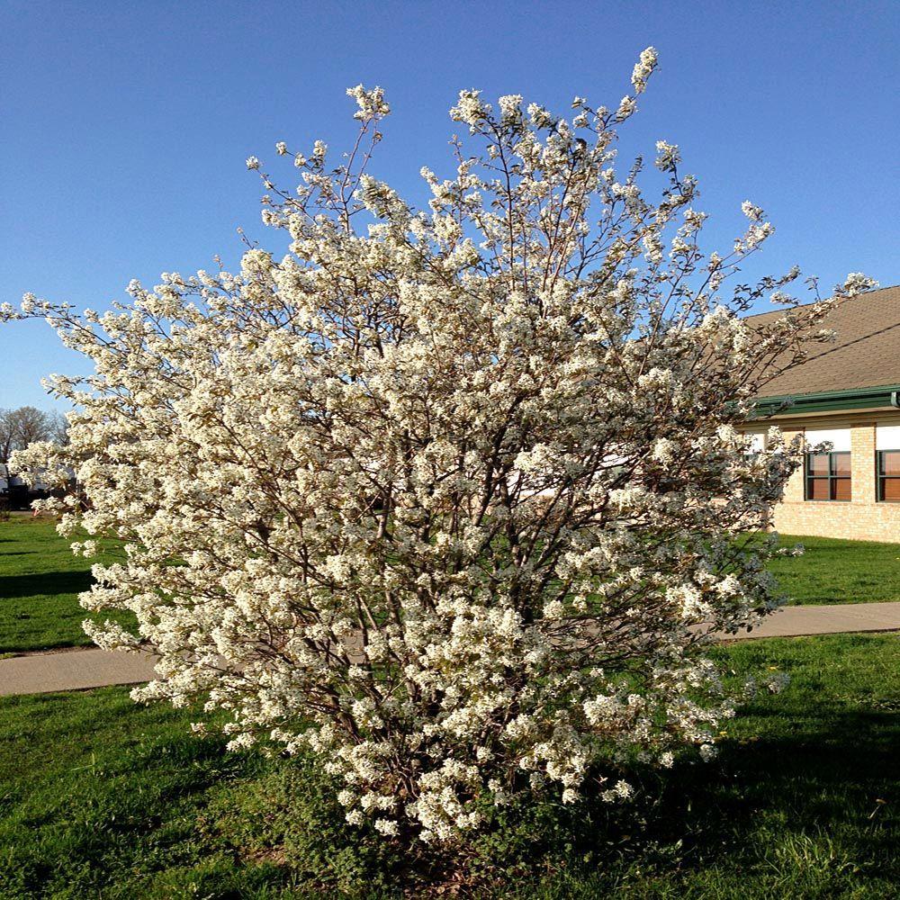 OnlinePlantCenter 5 gal. White Flowering Magnolia Tree