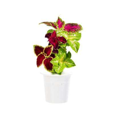 Painted Nettle Refill (3-Pack) for Smart Herb Garden