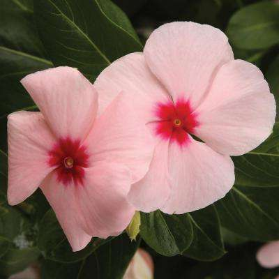 Pink annuals garden plants flowers the home depot cora apricot vinca catharanthus live plant blush pink flowers with a bright pink mightylinksfo