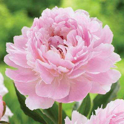 Peony Flower Bulbs Garden Plants Amp Flowers The Home