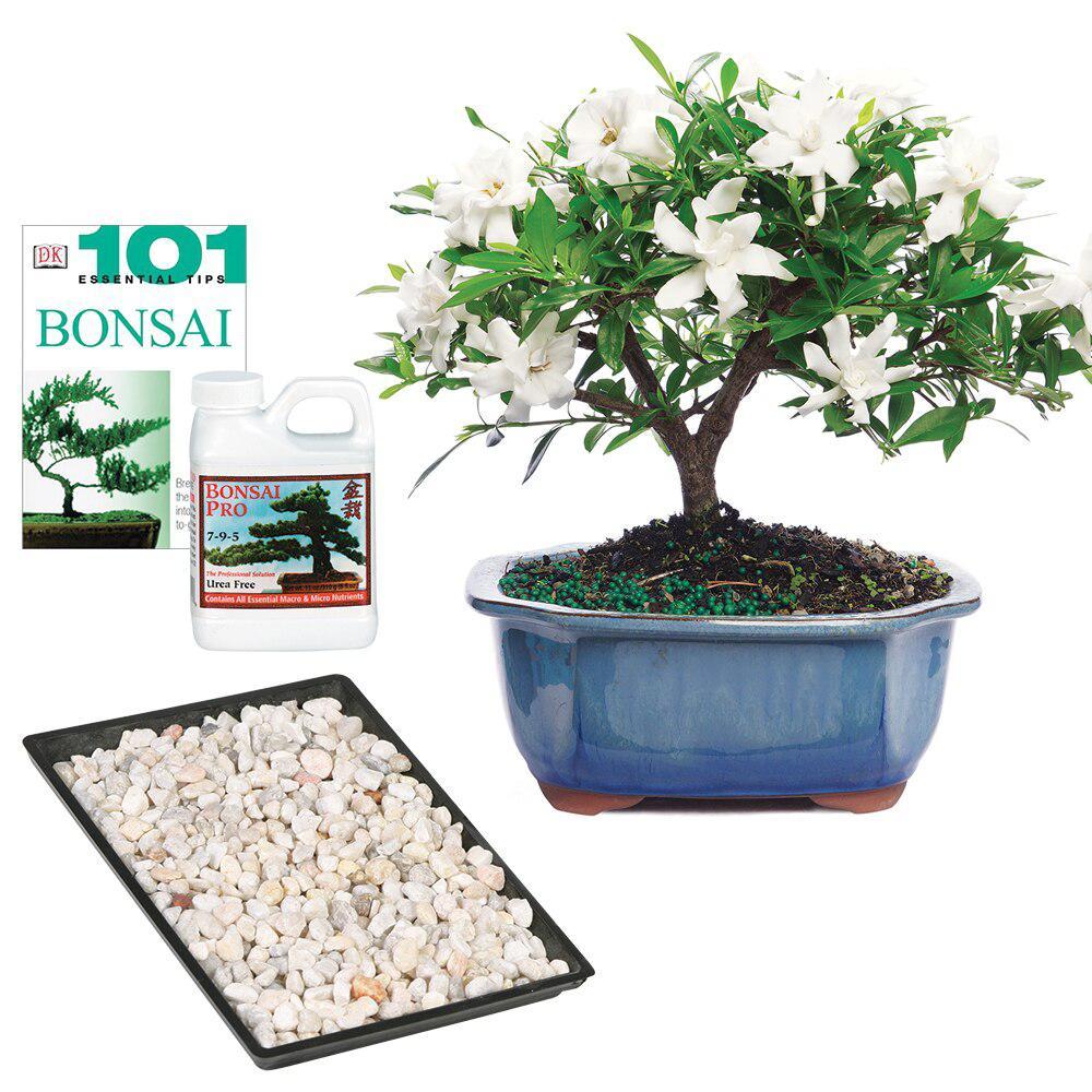 Brussel S Bonsai Gardenia Dt0107gcg The Home Depot