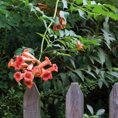 Trumpet Vine Orange Root Stock (1-set)