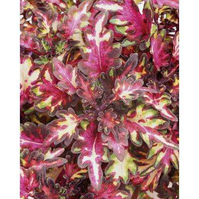 Proven Selections Merlin's Magic Coleus 4.25 in. Grande