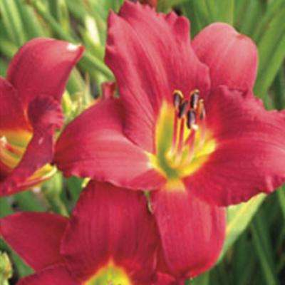 2.5 Qt. Pardon Me Daylily, Live Perennial Plant, Red Blooms with Yellow Throats