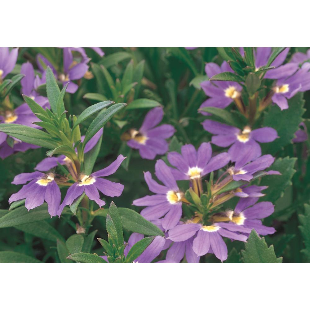 Assorted mix full sun annuals garden plants flowers the whirlwind blue fan flower scaevola live plant blue purple flowers 425 izmirmasajfo